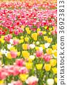 鬱金香 鬱金香花叢 花朵 36923813