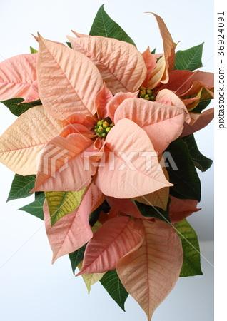 분홍색 포인세티아 36924091