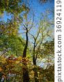 Aokigahara Jukai Autumn leaves 36924119
