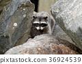 Raccoon in the rocks. 36924539