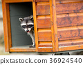 Raccoon looks out from feeding box. 36924540