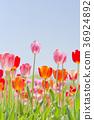 ทิวลิป,ดอกไม้,ทุ่งดอกไม้ 36924892