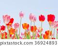 ทิวลิป,ดอกไม้,ทุ่งดอกไม้ 36924893