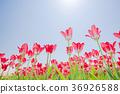 ทิวลิป,ดอกไม้,ทุ่งดอกไม้ 36926588