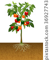 Bell pepper plant with root under the ground 36927743