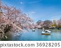 이노카시라온시코엔, 이노카시라온시 공원, 벚꽃 36928205