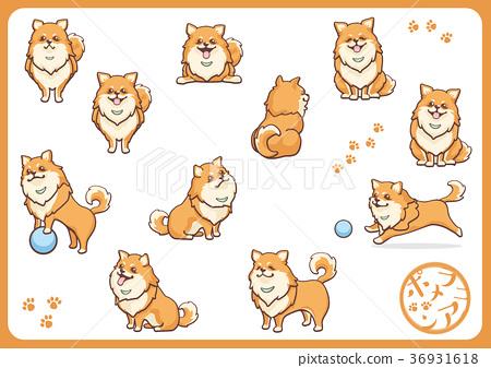 Pomeranian 05 36931618