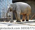 亞洲大象 36936773