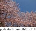 푸른, 벚꽃 나무, 벚나무무 36937110