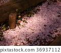 사쿠라, 벚나무무, 흩 36937112