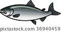 鲑鱼 鱼 矢量 36940459