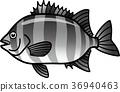 石鲷 鱼 咸水鱼 36940463