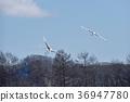 两个Tancho(北海道·Tsurui)的飞行人物 36947780