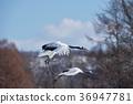 两个Tancho(北海道·Tsurui)的飞行人物 36947781