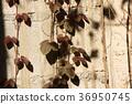 foliage, ivy, leaf 36950745