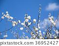 White plum and blue sky 36952427
