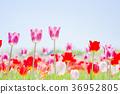 ทิวลิป,ดอกไม้,ทุ่งดอกไม้ 36952805