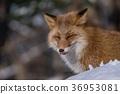 동물, 여우, 포유류 36953081