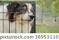 Portrait of a sad Australian Shepherd. Sits in a 36953110