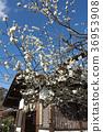 shrine, ume, spring 36953908
