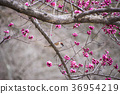 Sparrows and plum blossoms 36954219