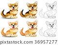 Welsh Corgi sits 36957277