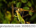Dragonfly 36960293