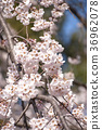 Cherry blossoms and blue sky in Gosho 36962078
