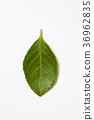 Green leaf on a white background  36962835