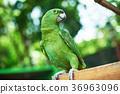 parrot, bird, birds 36963096