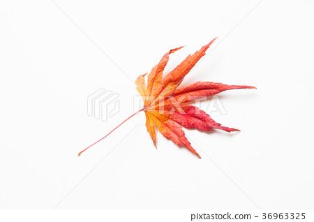 Sort of Filemot maple leaf on a white 36963325