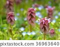 野草 紫色死荨麻 唇形科象草 36963640