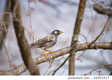 gray starling, wild bird, tine 36965813