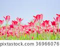 ทิวลิป,ดอกไม้,ทุ่งดอกไม้ 36966076