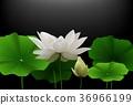 flower lotus background 36966199