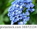 繡球花 藍色 藍 36972134