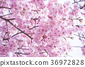 cherry blossom, cherry tree, full bloom 36972828