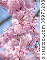 cherry blossom, cherry tree, bloom 36973208