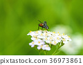 common fly on yarrow flower 36973861