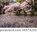 벚꽃 나무, 벚나무무, 흩 36974250