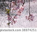 빛나는, 벚꽃 나무, 벚나무무 36974251
