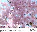 푸른, 맑은, 벚나무무 36974252