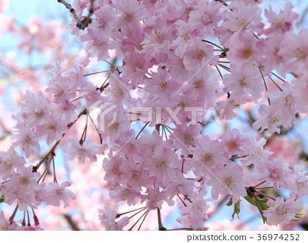樱花 樱桃树 花瓣 36974252