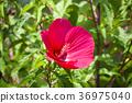 Red hibiscus 36975040