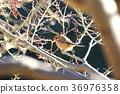 伯勞鳥 野生鳥類 野鳥 36976358