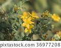 Common Saint John's wort (Hypericum perforatum) 36977208