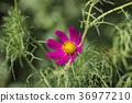 Purple flower of garden cosmea (Cosmos bipinnatus) 36977210