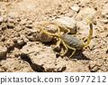 Scorpion deathstalker from the Negev desert 36977212