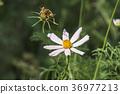 White flower of garden cosmea (Cosmos bipinnatus) 36977213