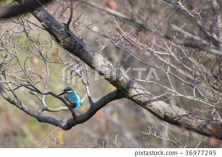 common kingfisher, kingfisher, wild bird 36977295